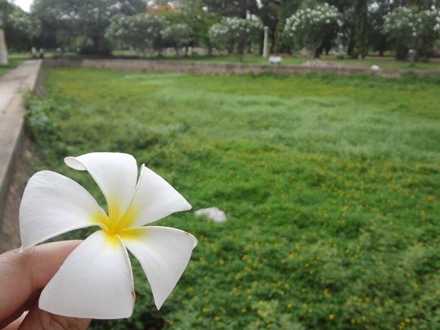 カンボジアの白い花チャンペイ