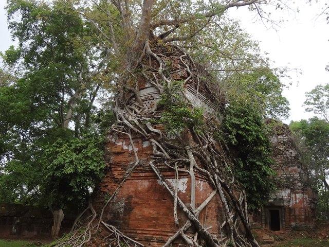 プラサット・プラムの絡まる木々