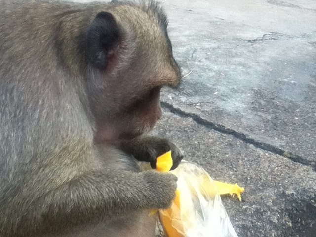 ワット・サンポウのマンゴーにかぶりつく猿