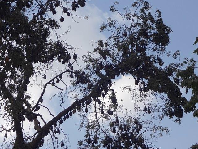 パゴダの大木にとまるオオコウモリの群れ