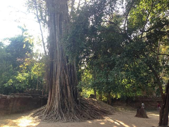 タ・ソムにあったすごい木