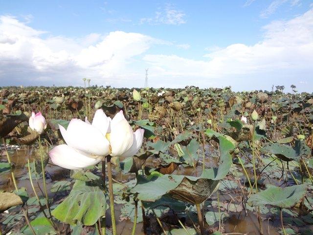 ロータス・ファームの蓮の花