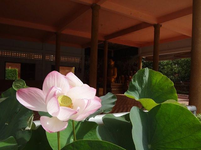 カンボジアのお寺に供えられる蓮の花
