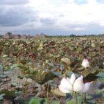 シェムリアップの蓮の花畑(ロータス・ファーム)