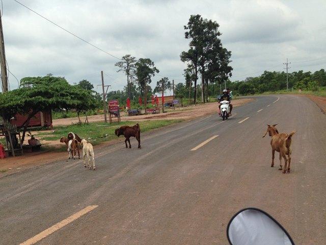プレアヴィヒアからの帰り道で出くわしたヤギ家族のお散歩