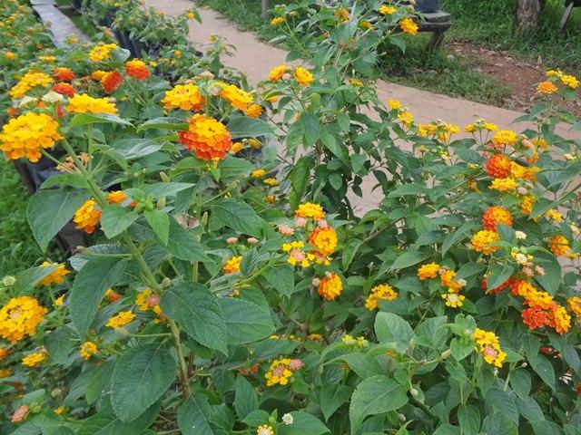 エコリゾートの花畑②