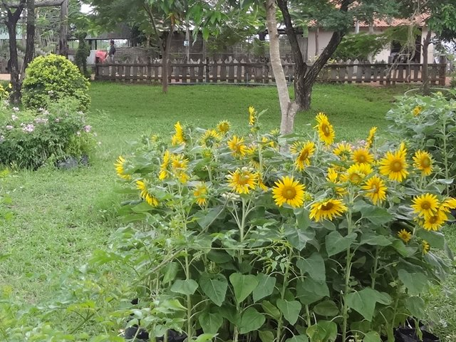エコリゾートの花畑