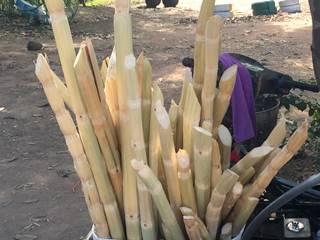 クメール語でサトウキビ