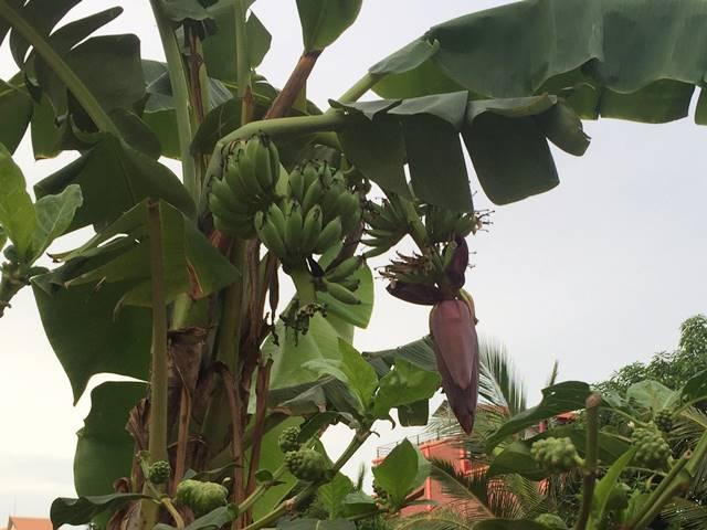 バナナの花のなりかた