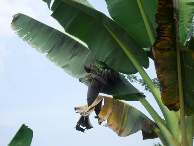 木になるバナナの花